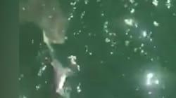 Il se fait voler son requin... par un requin!