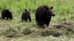 Une famille canadienne tombe face à face avec 3 grizzlis dans leur cour arrière