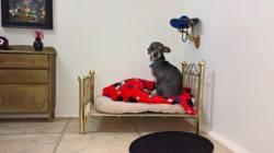 Ce chihuahua dort dans un véritable palace