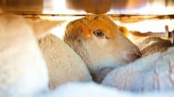 Souffrance animale dans les abattoirs, lepoids desmots et