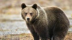 Une ourse trouve une grenade dans un