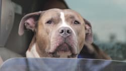Montreal SPCA Files Lawsuit Over Pit Bull