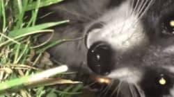Voici ce qui arrive lorsqu'on filme un raton laveur de (beaucoup) trop