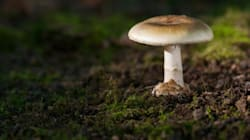 3-Year-Old Dies After Eating Poisonous Mushroom In