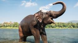 Les éléphants nous sauveront-ils du