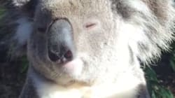 Ce koala vit l'instant