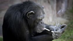 Smoking Chimp Is The Star Of North Korea's New