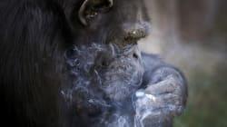 Ce singe nord-coréen fume un paquet par