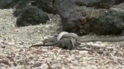 Ce bébé iguane vous offre le meilleur moment télé de