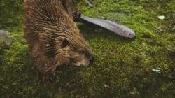 L'Argentine va exterminer 100 000 castors en