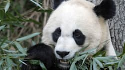 Are Pandas Heading To