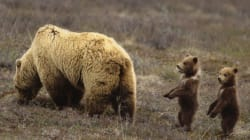 Bad Momma Grizzlies Quickly Corrupt Their Adorable Offspring: