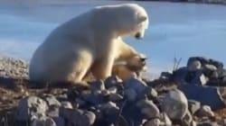 Cet ours polaire fera fondre votre coeur