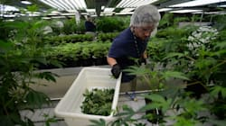 Investors Bet Millions Against Canada's 'Marijuana Stock