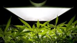 Une plantation de cannabis démantelée dans les