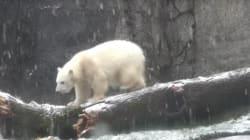 Cette ourse découvre la neige pour la première