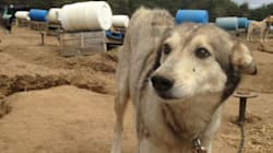 Sled Dog Businesses Don't Celebrate Animals, They Exploit