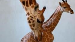 Le giraffe si stanno dirigendo verso una