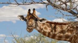 Une girafe donne naissance en direct sur