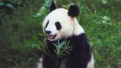 Voici pourquoi le panda géant est