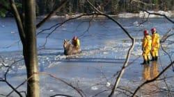 Une orignale rescapée des glaces par des