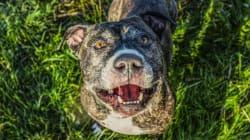 Québec veut interdire les pitbulls, mais plus