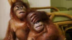 Deux bébés orangs-outans sauvés des griffes de trafiquants grâce à une application