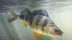 Manger du poisson élevé à l'Université