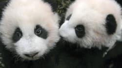 Première sortie publique pour ces deux bébés pandas... et ils sont trop