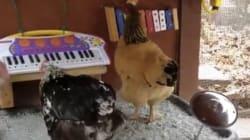 ニワトリの前衛音楽バンドは、超コッコいいぜ(動画)