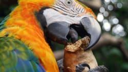 En Inde, un perroquet identifie le meurtrier de sa