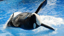 La célèbre «orque tueuse» Tilikum est