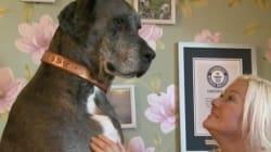 想像を絶するデカさ「世界一背の高い犬」(画像)