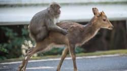 Quand un singe tente de s'accoupler avec une
