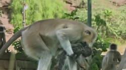 El duelo de unos monos por la 'muerte' de una cría de