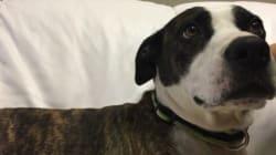 Interdits en Ontario, les pitbulls sont envoyés à la SPCA de
