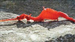 Les premières images du dragon des mers rubis ont fasciné JK