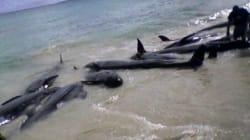 Plus de 80 dauphins meurent en