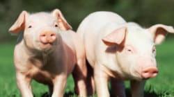 Un embrione chimera metà maiale e metà uomo per aumentare i trapianti