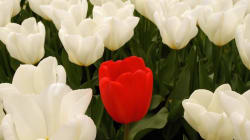 Cosa è la tulipomania, la bolla che ha fatto sbocciare il