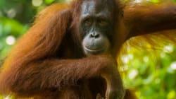 Un Tinder pour orangs-outans testé aux