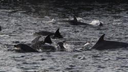 Une mère tente de sauver son bébé dauphin de la