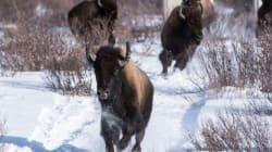 Les bisons de retour dans le parc national Banff après plus de 100 ans