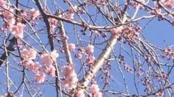 春陽に寒桜ほころぶ