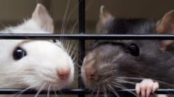 Nouvelle maison pour 350 rats domestiques trouvés dans un appartement en