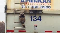アライグマに全米が共感 ゴミ収集車にしがみつく姿に「私たちと同じだ」