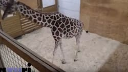 YouTube Cuts Live Stream Of Pregnant Giraffe Over Nudity