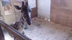 In milioni seguono la diretta degli ultimi momenti della gravidanza della giraffa April. Ma Youtube censura il