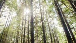 First Nation In B.C. Revives Tree-Cutting