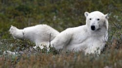 Want To See Canada's Polar Bears? Here's What You Should
